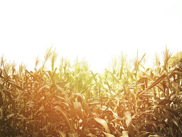 Campo de milho no por do sol com espaço da cópia.
