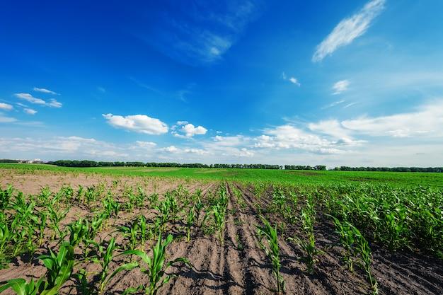 Campo de milho no pôr do sol