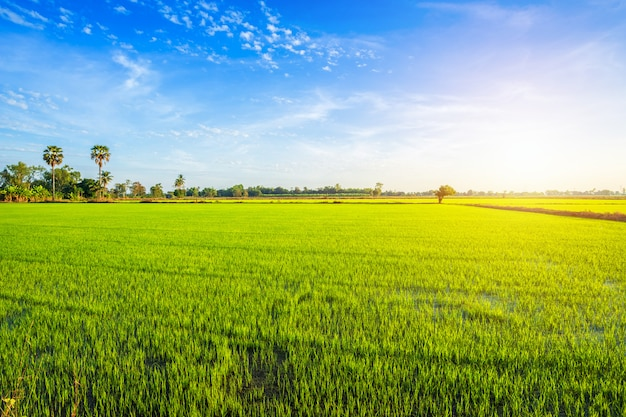 Campo de milho verde bonito com céu do por do sol.