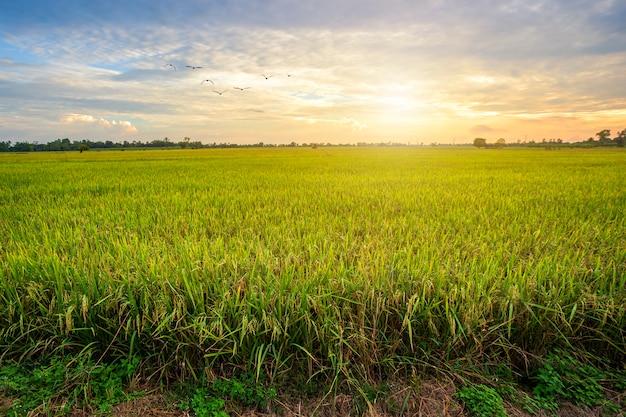 Campo de milho verde bonito com fundo do céu por do sol.