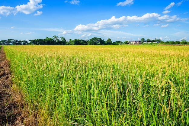 Campo de milho verde bonito com fundo macio do céu das nuvens.