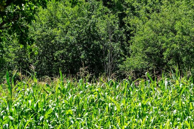 Campo de milho verde em savsat, artvin, blacksea - turquia