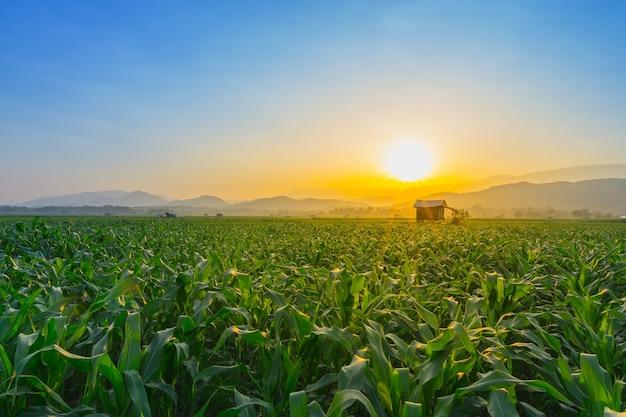 Campo de milho verde jovem no jardim agrícola e luz brilha por do sol