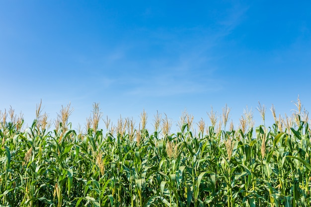 Campo de milho verde jovem
