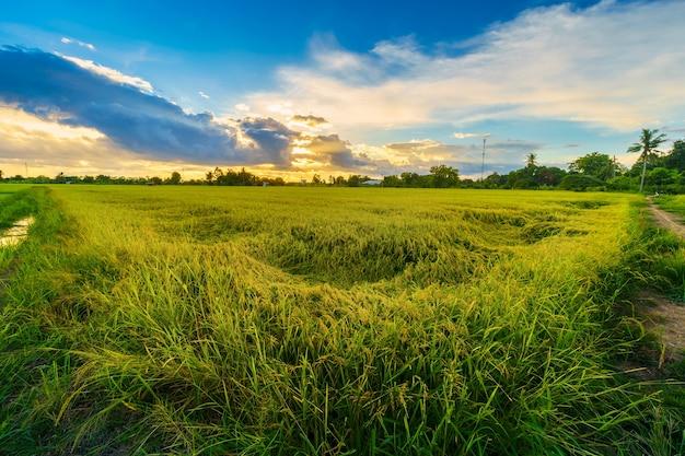 Campo de milho verde ou milho na colheita da agricultura do país da ásia com céu ao pôr do sol