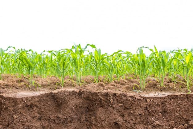 Campo de milho verde
