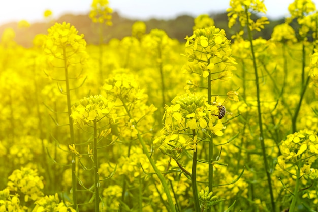 Campo de mostarda no início do verão, durante o período de floração