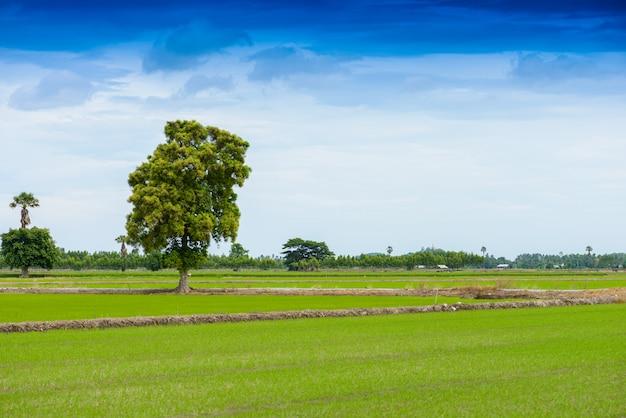 Campo de mudas de arroz