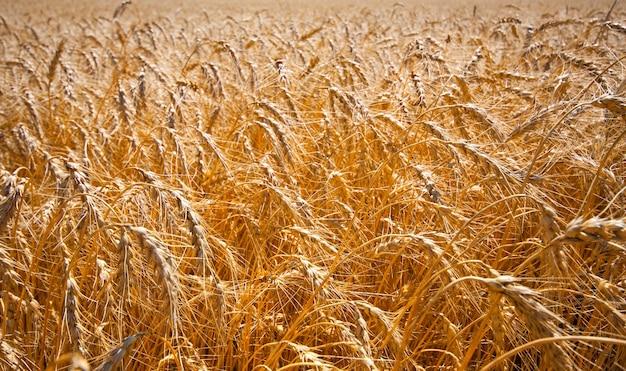 Campo de ouro de trigo maduro