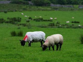 Campo de ovelhas