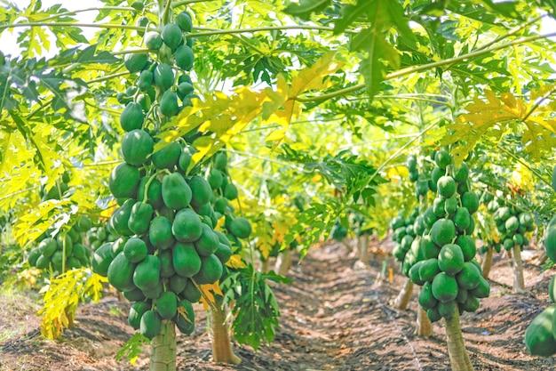 Campo de papaia indiano