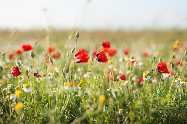 Campo, de, papoula milho, flores papaver, rhoeas, em, primavera