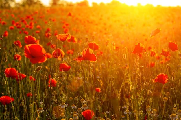 Campo de papoulas ardente brilhante nos raios do pôr do sol