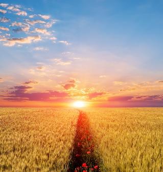 Campo de papoulas bela cena do sol, vermelho sobre um fundo por do sol