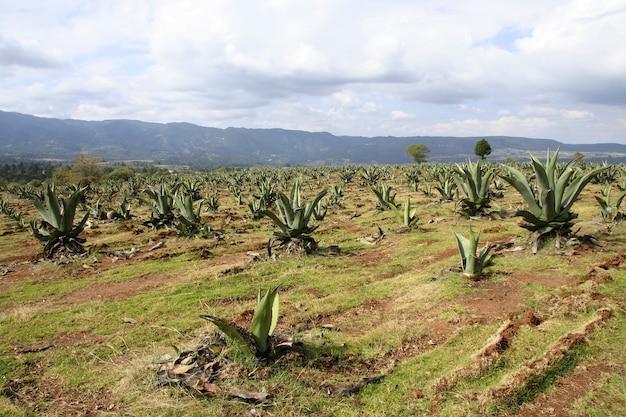 Campo de plantação de agave sob um lindo céu nublado