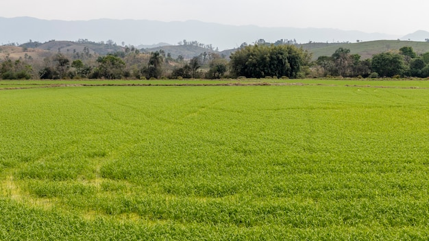 Campo de plantação de arroz. produção de arroz