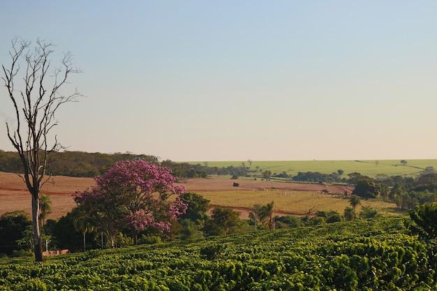 Campo de plantação de café