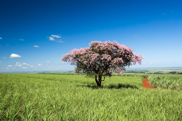 Campo de plantação de cana-de-açúcar em dia ensolarado. agricultura.