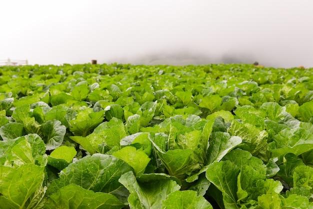 Campo de repolho chinês no topo de uma colina no meio do nevoeiro