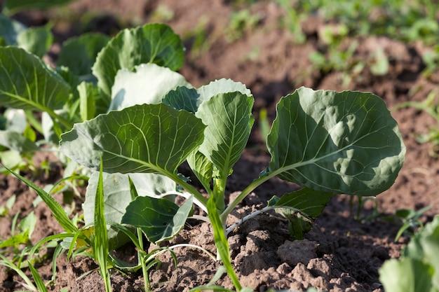 Campo de repolho primavera campo agrícola em que crescem os jovens repolho verde temporada de primavera