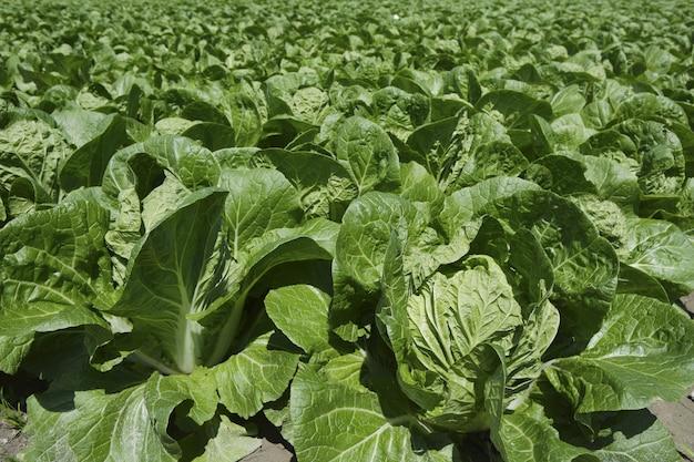 Campo de repolho verde legumes na terra de primavera