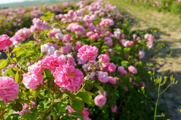 Campo de rosas