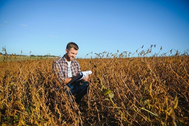 Campo de soja e plantas de soja maduras ao nascer do sol. agricultura de soja