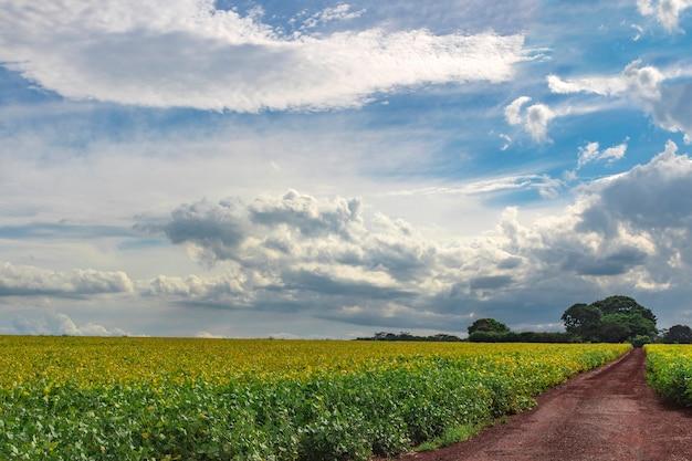 Campo de soja verde amarelo, plantação em dia de verão com céu nublado