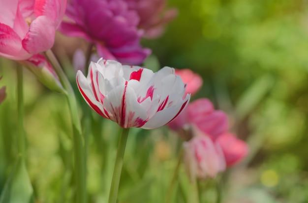 Campo de springtulips coloridos. tulipa triumph mista