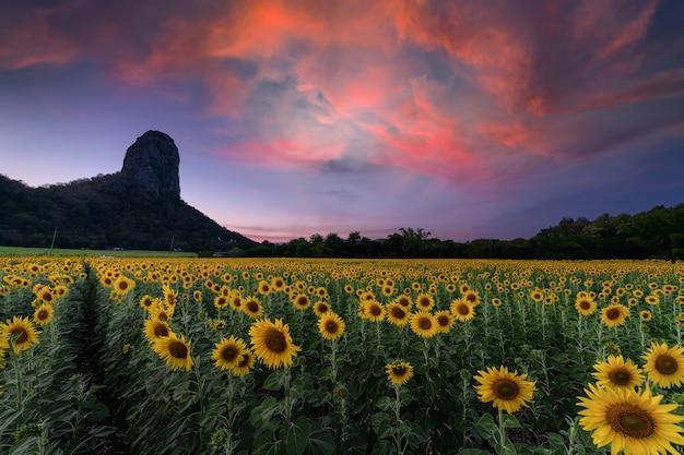 Campo de sunflowe lindo com montanha no céu crepuscular na província de lop buri, tailândia