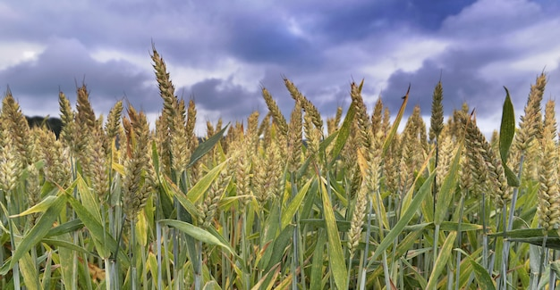 Campo de trigo acima do céu dramático nublado