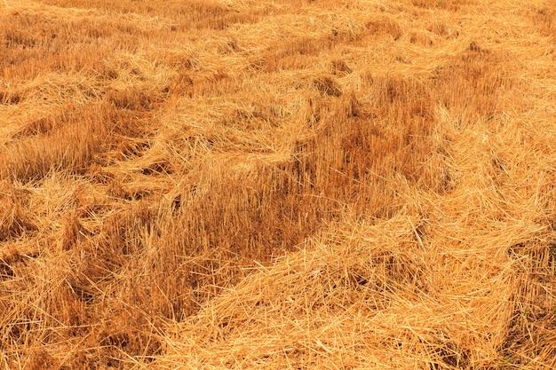 Campo de trigo amarelo depois da colheita
