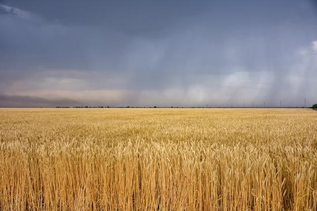 Campo de trigo antes da tempestade, antes da tempestade