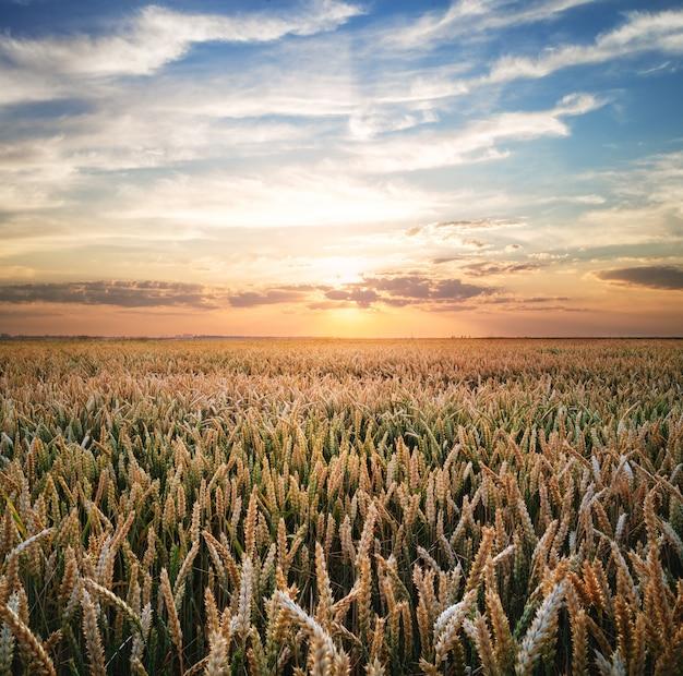 Campo de trigo ao pôr do sol