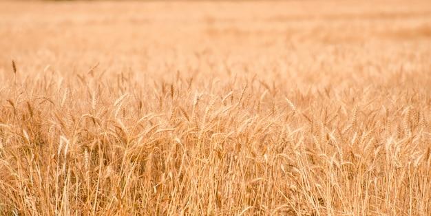 Campo de trigo. close-up de trigo dourado. cenário rural sob a luz do sol brilhante. o conceito de uma colheita rica.