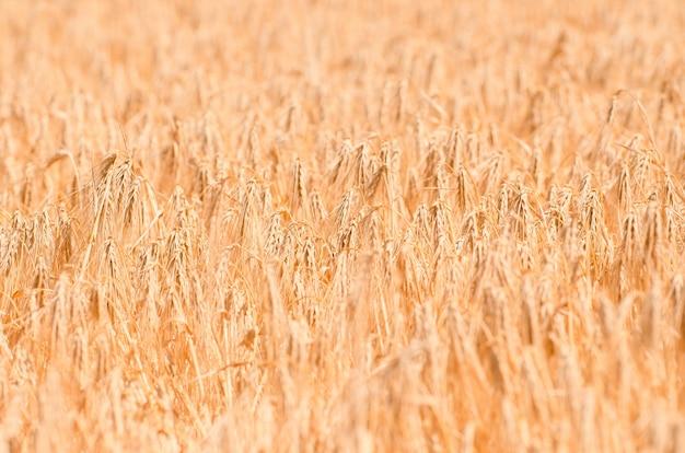 Campo de trigo. close-up de trigo dourado. cenário rural sob a luz do sol brilhante.