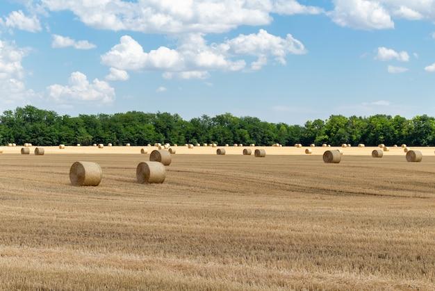Campo de trigo colhido com palheiros de palha