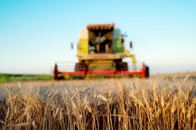 Campo de trigo com colheita combinada para trás.