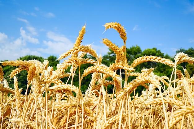 Campo de trigo com orelhas douradas contra o céu azul.