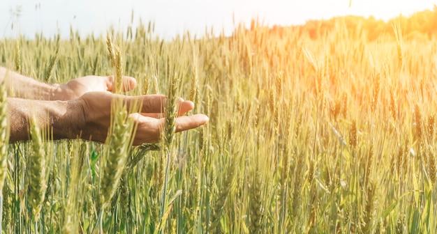 Campo de trigo com um fazendeiro segurando espigas de centeio na mão. colheita de trigo em um campo ensolarado de verão. agricultura, cultivo e cultivo de alimentos bioecológicos. foto de alta qualidade