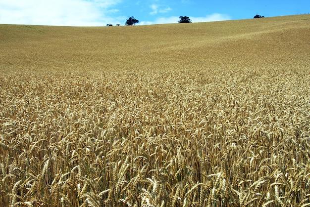 Campo de trigo de crescimento longo sob o céu azul