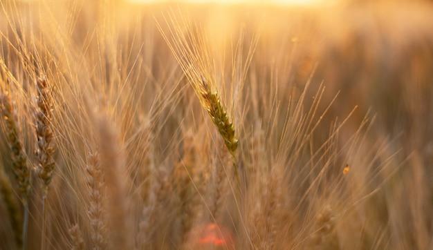 Campo de trigo dourado ao pôr do sol com reflexos de sol nas espigas de trigo