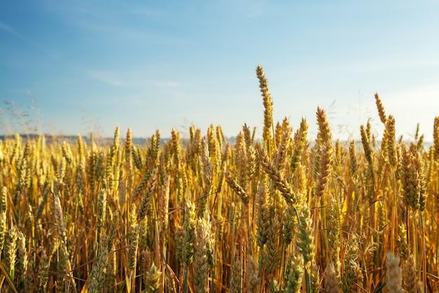Campo de trigo dourado com céu azul