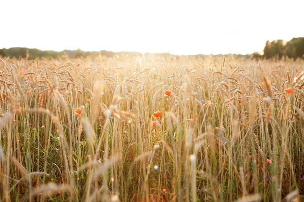 Campo de trigo dourado com flores de papoulas vermelhas no raio do sol.