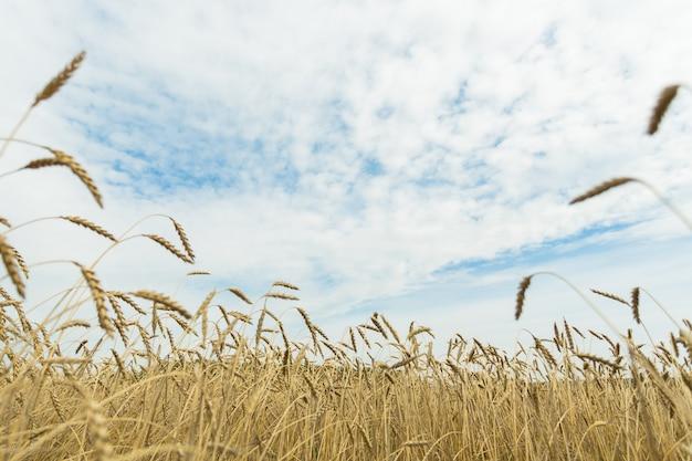 Campo de trigo dourado e céu azul com nuvens
