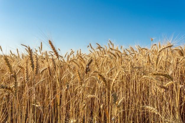 Campo de trigo dourado e dia de sol