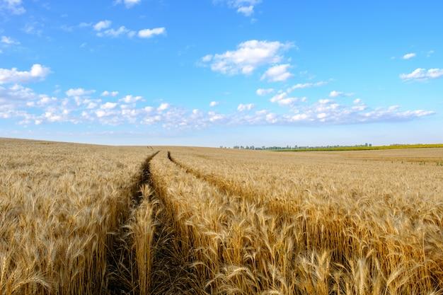 Campo de trigo dourado em terreno montanhoso e trilha de trator no fundo do céu azul com nuvens brancas