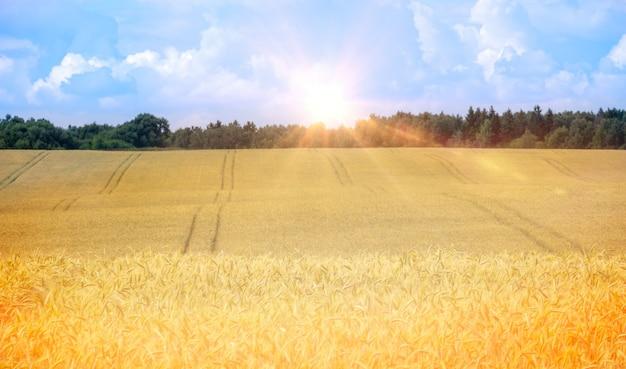Campo de trigo dourado maduro em raios de sol contra o fundo desfocado do céu com nuvens. paisagem natural de verão rural.