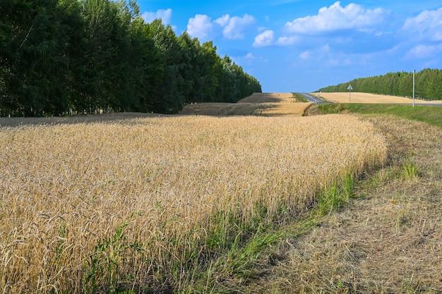 Campo de trigo dourado no dia ensolarado de verão quente. campo de amadurecimento do centeio em um dia de verão. orelhas de centeio.