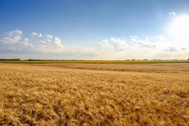 Campo de trigo dourado no fundo do céu azul com nuvens brancas e sol.